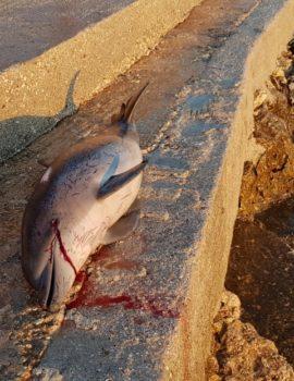 FOTO/Për të ardhur keq, gjendet një delfin i ngordhur në Ksamil